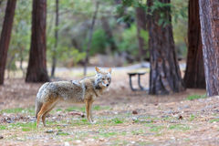 Wolf, Yosemite National Park, California, USA Royalty Free Stock Photo