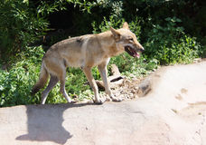 Wolf in a zoo. Stock Images