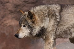A wolf in a zoo closeup Stock Photography