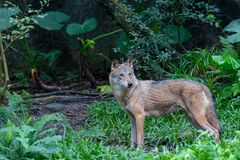 Wolf in the Zoo Taipei stock photography