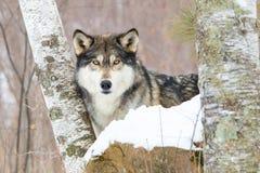 Wolf zwischen Suppengrün Stockfotografie