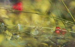 Wolfberry στη δροσιά πρωινού Στοκ Εικόνα