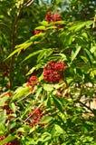 Wolfberry Zdjęcie Stock