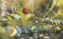 Wolfberry dans la rosée de matin Image libre de droits