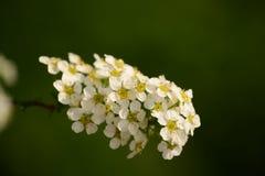 Wolfberry vita blommor Royaltyfria Foton