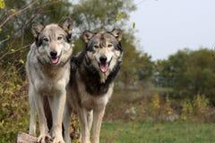 WolfCanisLupus Stockbild