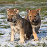 wolfdog两只华美的小狗在冬天 库存照片
