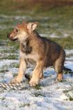 wolfdog华美的小狗在冬天 库存照片