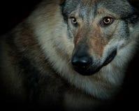 Wolfdog 免版税库存照片