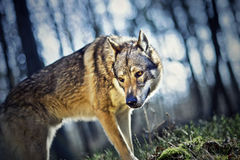 Wolfdog Royalty-vrije Stock Fotografie