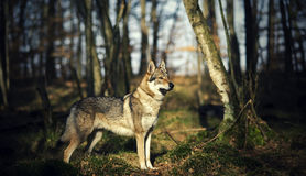 Wolfdog Royalty-vrije Stock Foto's