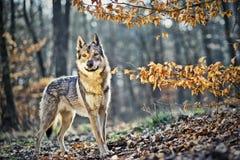 Wolfdog Stock Foto's