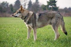 Wolfdog zdjęcie stock