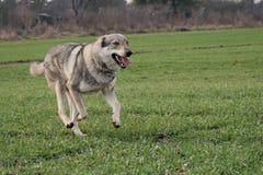 Wolfdog stockbilder