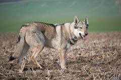Wolfdog obraz royalty free