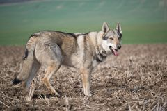 Wolfdog lizenzfreies stockbild