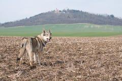 Wolfdog lizenzfreie stockfotos
