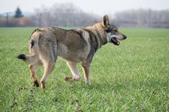 Wolfdog fotografia royalty free