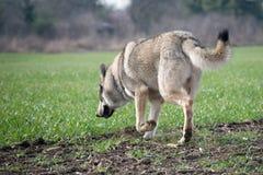 Wolfdog lizenzfreie stockfotografie