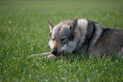 Wolfdog stockbild