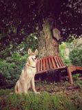 Wolfdog foto de stock