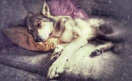 Wolfdog fotos de stock royalty free