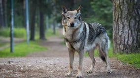 Wolfdog bevindt zich alleen stock video