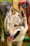 Wolfdog Stock Photos