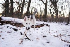 Wolfdog Czechoslovakian domesticado em um campo bonito branco da floresta fotos de stock