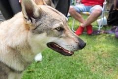 Wolfdog Czechoslovakian no prado verde Feche acima do tiro imagem de stock royalty free