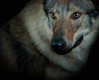 Wolfdog Royalty Free Stock Photo