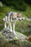 Wolfdog, das auf Felsen steht Lizenzfreies Stockfoto