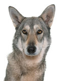 Wolfdog de Saarloos no estúdio Foto de Stock Royalty Free
