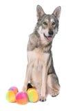 Wolfdog de Saarloos no estúdio Fotografia de Stock Royalty Free