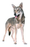 Wolfdog de Saarloos no estúdio Foto de Stock