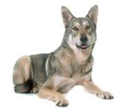 Wolfdog de Saarloos no estúdio Imagem de Stock