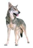 Wolfdog de Saarloos no estúdio Imagem de Stock Royalty Free