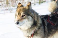 Wolfdog do retrato na competência de chicote de fios em um fundo branco Fotografia de Stock