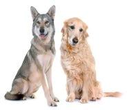 Wolfdog et golden retriever de Saarloos Image libre de droits
