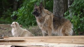 Wolfdog fâché écorçant dehors par les buissons Trame velue de chien de loup dehors, aucune personnes banque de vidéos