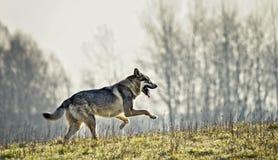 Wolfdog het lopen Stock Afbeelding