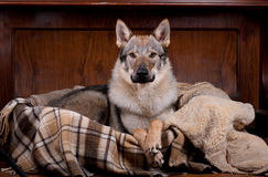 Wolfdog at home Royalty Free Stock Photos