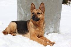 Wolfdog i snö Royaltyfria Foton