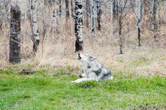 Free Wolfdog In The Woods Royalty Free Stock Photos - 134112308