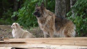 Wolfdog irritado que descasca fora pelos arbustos Trama peludo do cão do lobo fora, nenhuns povos filme