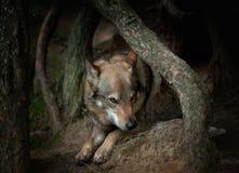 Wolfdog laying behind pinetree roots Royalty Free Stock Image
