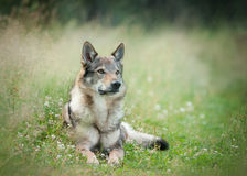 Wolfdog laying on a grass with blurry background behind Stock Photos