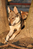 Wolfdog mother with its puppy between trees Stock Photography