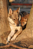Wolfdog mother with its puppy between trees Stock Images