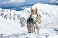 Wolfdog no inverno Foto de Stock